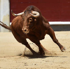 Picture of a charging brown bull